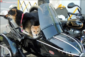 Canines in sidecars at the ABFM 2013 AutoShow display. Photo Jim Jorgenson