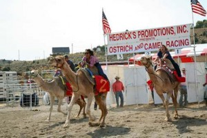 Camel Racing Nevada